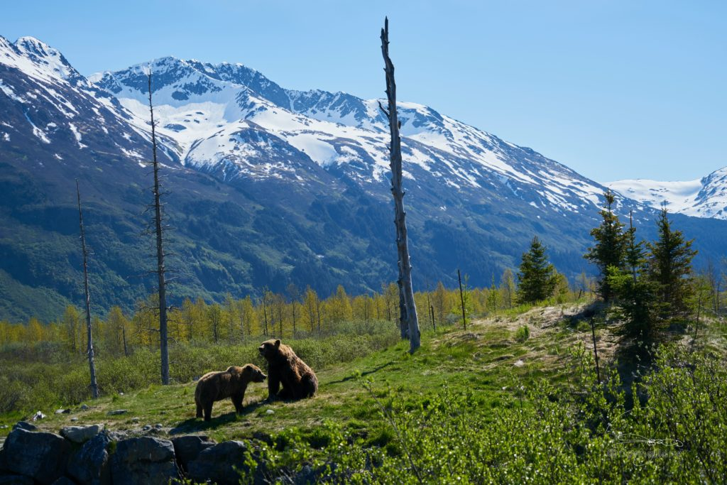 how to avoid grizzly bears while camping