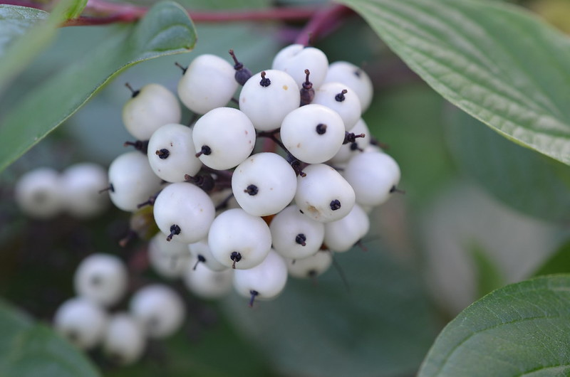 berries to avoid while camping