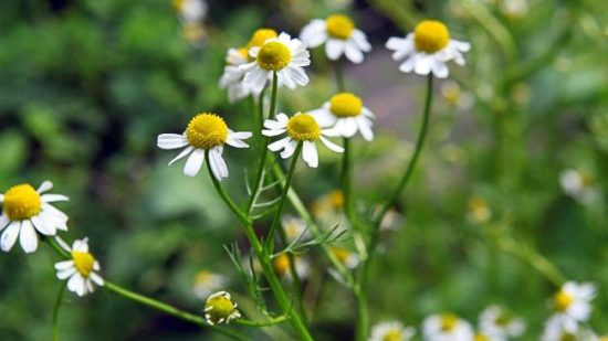 chamomile herbs for camping